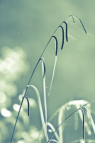Sedge and bokeh