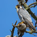 Falcon in the Pine by Rick Derevan