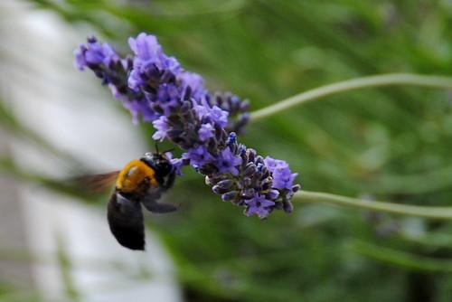 Lavender Festival 006r