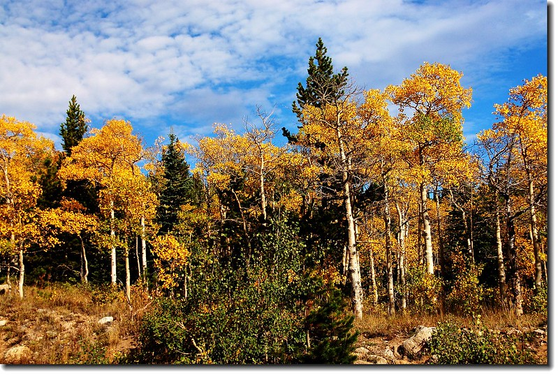 Aspen leaves turn to golden 4