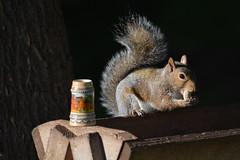 The Squirrels In My Yard Enjoy Oktoberfest As Much…