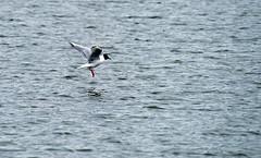 Bonaparte's Gull (Chroicocephalus philadelphia) _DSC7493e