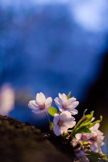 Photo:Somei-yoshino in the night (O-okayama, Tokyo, Japan) By t-mizo