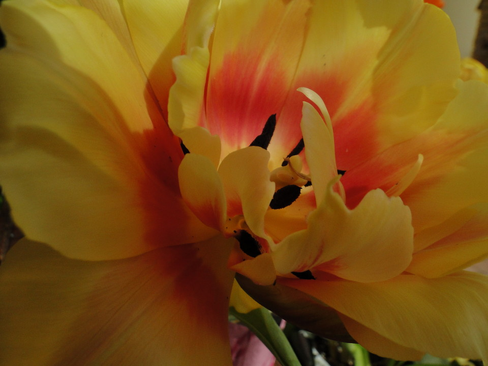 77-21apr12_4014_Botanical_garden_tulip