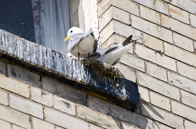 Kittiwakes (Rissa tridactyla) on Windowsill Nest in Scarborough