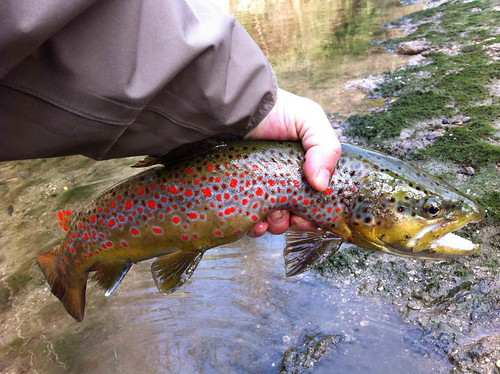 Pictures of the day psychedelic italian brown trout for Trout fishing spots near me