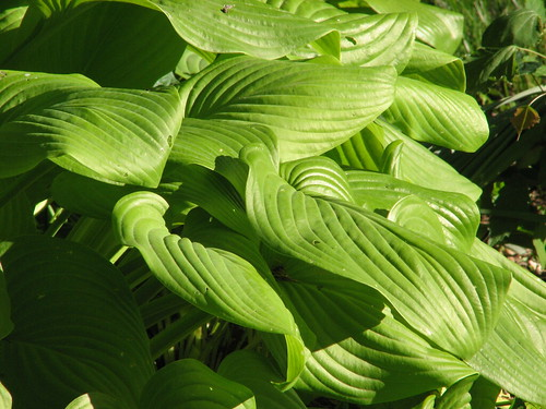 Hosta 'Fried Bananas'