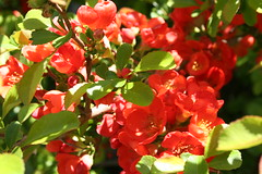 annual plant, shrub, flower, red, plant, flora, snapdragon,