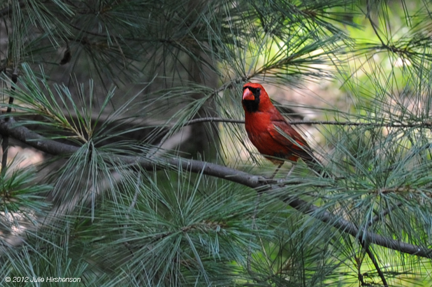 Male Cardinal Among the Needles
