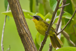 Brazilian Birds - Species # 020 - Masked Yellowthroat