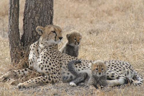 獵豹在中東是象徵財富與地位的寵物,幼獸大量被獵捕和走私,終陷入野外滅絕的危機。目前野外獵豹剩下不到10,000隻。(來源:Darwin Initiative)