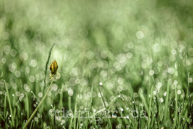 dandelion sleeping in the dew