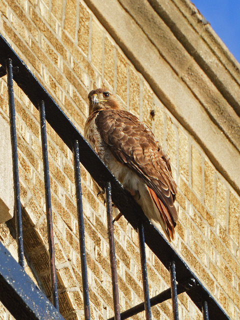 JHW Red-Tailed Hawk (9893)