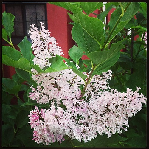 Lilacs in our back yard. Who knew?!