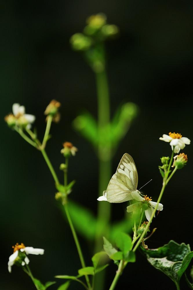 脈粉蝶屬黑脈粉蝶14S101