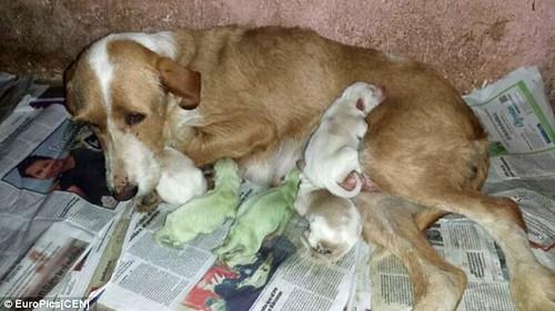 緑色の犬が生まれる…スペイン
