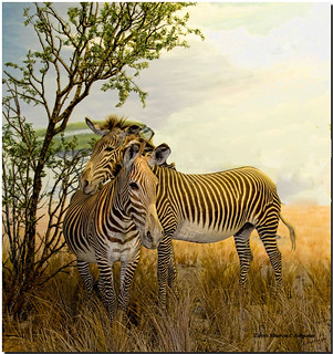 Affectionate Zebras  (EXPLORED!  #232)