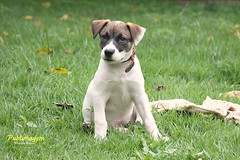 puppy(0.0), dog breed(1.0), animal(1.0), danish swedish farmdog(1.0), dog(1.0), pet(1.0), parson russell terrier(1.0), russell terrier(1.0), carnivoran(1.0), jack russell terrier(1.0), terrier(1.0),