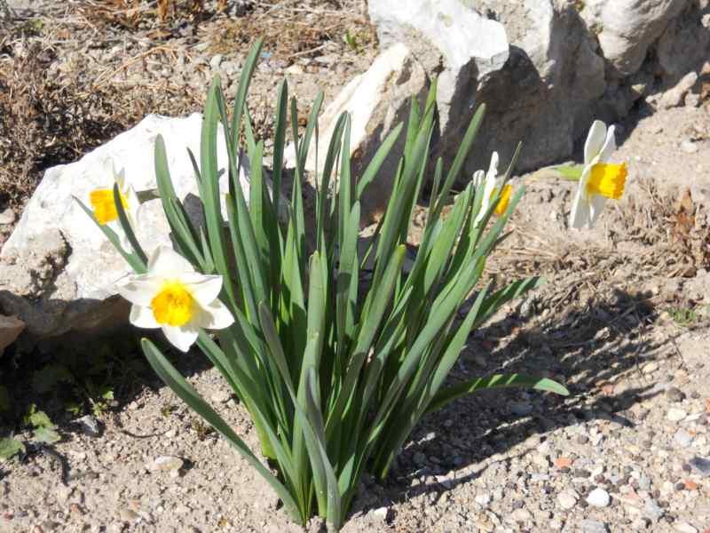 Narcissus trompeta hybridus 2