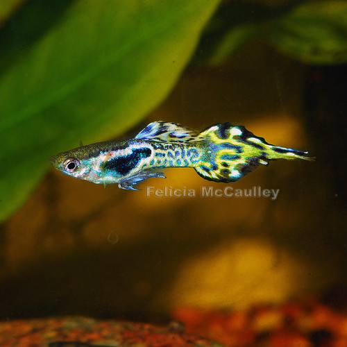 Aquarium adventures hybrid guppy endler pintail for Endler guppy
