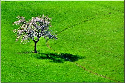 albero fiorito by Luigi Alesi