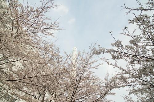 Megurogawa Sakura 12