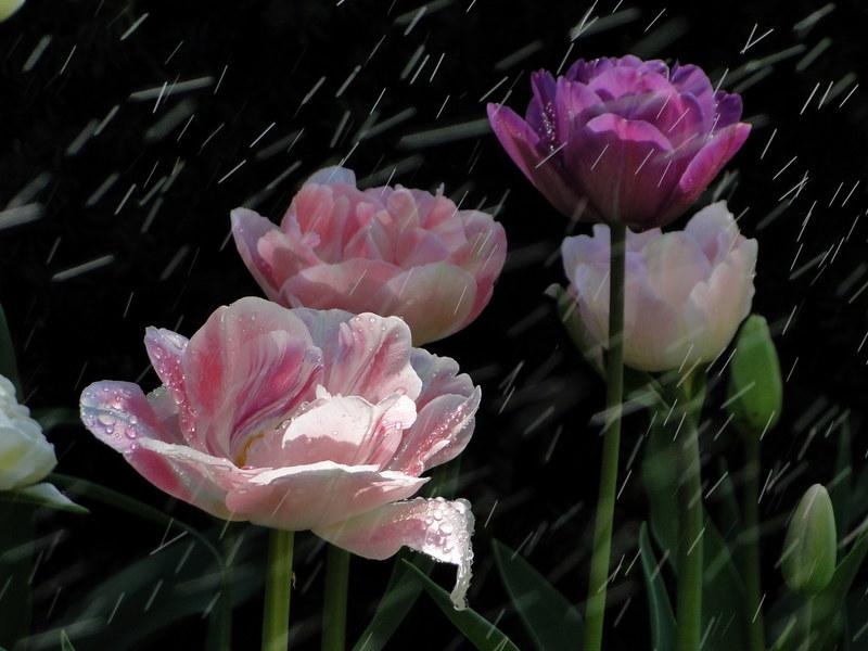 77-21apr12_3876_Botanical_garden_tulip