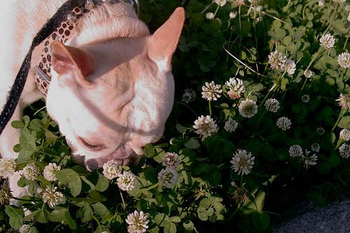 BLiNc!&Trifolium repens