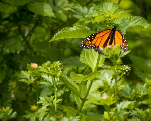 Monarch Butterfly by Ricky L. Jones Photography