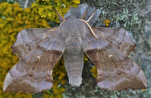 Poplar Hawk-moth Laothoe populi by Kinzler Pegwell