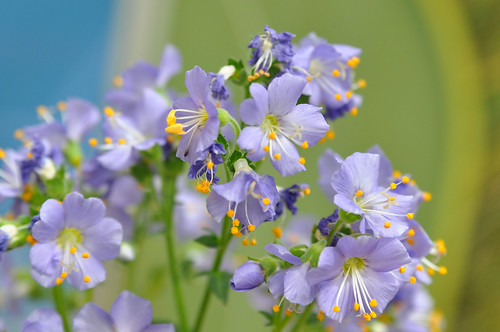 Polemonium in bloom at the US Botanic Garden