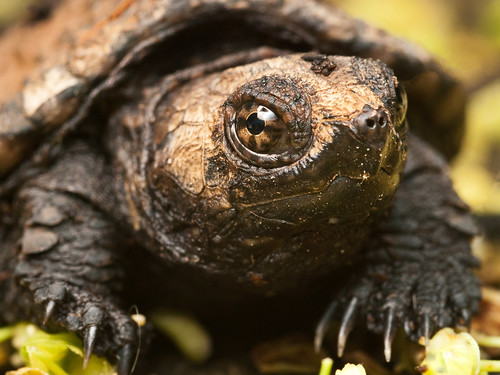 Snapping Turtle by Lopshire by Lopshire Photography