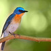 Tickell's Blue Flycatcher [Nikon D7000] [Nikkor AF-S VR Zoom 70-300mm f/4.5-5.6G IF-ED]