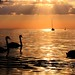 Swan Family Floating In The Sunset
