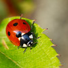 COCCINELLES04 by daumy