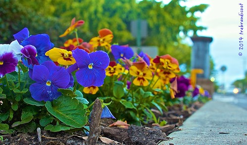 park new flowers nature public gardens garden focus day shot artistic farm low perspective pansy brisbane level pansies parkland contemporaryartsociety flickrsawesomeblossoms
