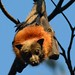 Grey-headed Flying-fox - Photo (c) Wayne Deeker, some rights reserved (CC BY-NC)