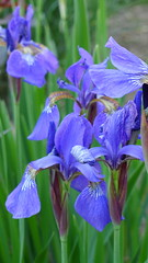 colorado blue columbine(0.0), eye(0.0), iris(1.0), flower(1.0), iris versicolor(1.0), purple(1.0), plant(1.0), macro photography(1.0), wildflower(1.0), flora(1.0), blue(1.0),