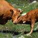 20130731_07 Cow & calf | Near the Bernina Pass, Switzerland by ratexla