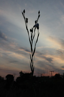 Common Flax silhouette
