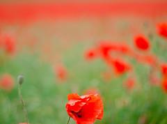 Poppy field near Langton, North Yorkshire (5 of 6). By Thomas Tolkien