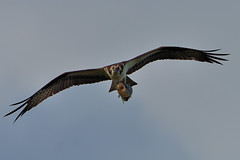 Osprey with Fish DSC_6430 by Mully410 * Images