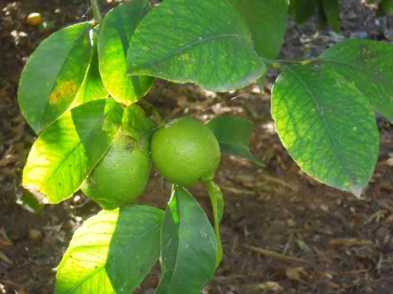 Citrus limon 'Mesero' 1
