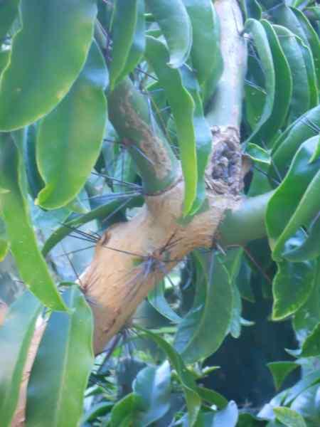 Pereskia grandiflora v 3