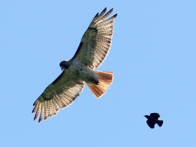 Red-tailed Hawk and blackbird 20110704
