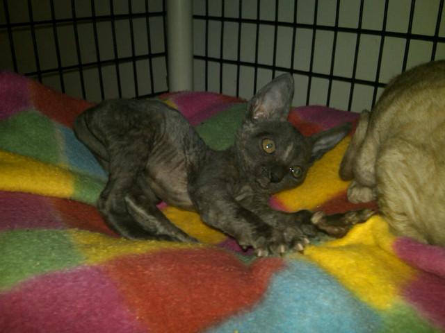 6 Week Old Blue-Cream Cornish Rex Kitten. Going for her brother's tail--