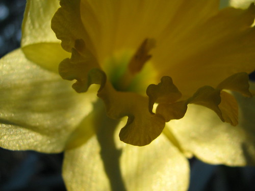 Daffodil in Ruffled Dress