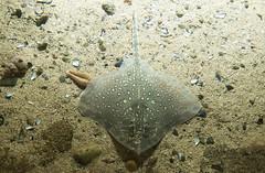 animal(1.0), fish(1.0), sand(1.0), marine biology(1.0), fauna(1.0), skate(1.0), underwater(1.0), reef(1.0), wildlife(1.0),