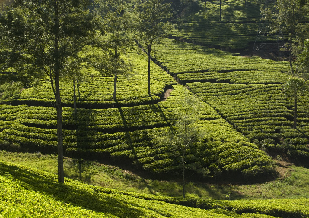 Tea plantations near Kandy Sri Lanka