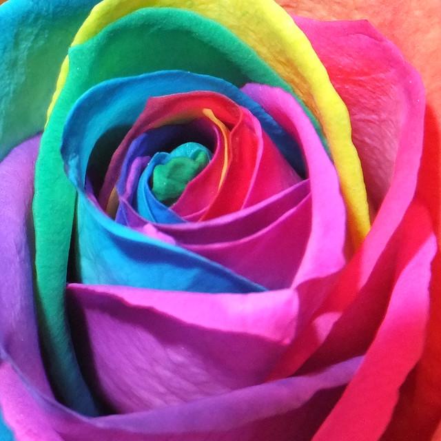 Rainbow rose flickr photo sharing for Where to get rainbow roses
